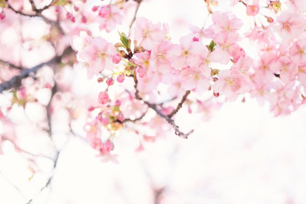 Cseresznyafavirág